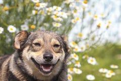 Chien heureux avec un sourire sur le fond des marguerites de fleurs Images stock