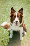 Chien heureux de border collie Photos libres de droits