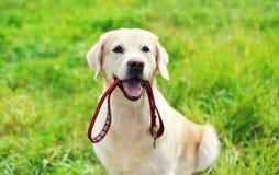 Chien heureux de golden retriever avec la laisse se reposant sur l'herbe Photos stock