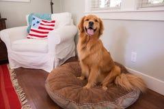 Chien heureux de golden retriever sur un oreiller Image libre de droits