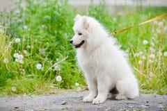 Chien heureux de Samoyed, blanc et pelucheux pour une promenade image stock