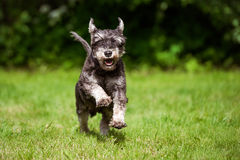Chien heureux de schnauzer miniature fonctionnant sur l'herbe photo libre de droits