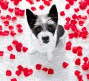 Chien heureux de valentines Photo libre de droits