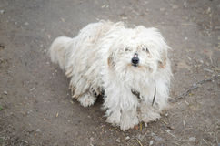 Chien hirsute blanc de photos Images libres de droits