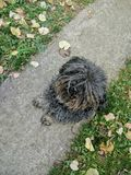 Chien hongrois noir de puli se reposant sur le chemin dans le jardin entre les feuilles tombées photo stock