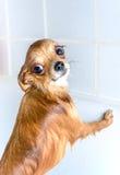 Chien humide drôle de chiwawa dans le bain Photo stock