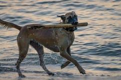 Chien humide fonctionnant en mer sur la plage avec le bâton dans sa bouche pendant la soirée images libres de droits