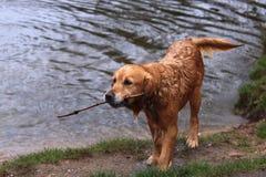 Chien humide recherchant le bâton du lac un jour pluvieux image libre de droits