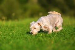Chien hybride de Terrier marchant dans l'herbe photographie stock