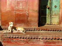 Chien indien de rue Photo stock