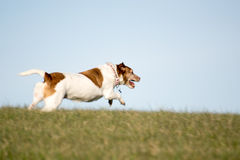 Chien Jack Russell Running dans le domaine images libres de droits
