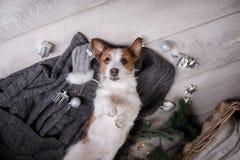 Chien Jack Russell Terrier attendant la nouvelle année Photo libre de droits