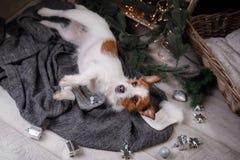 Chien Jack Russell Terrier attendant la nouvelle année Photos stock