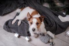 Chien Jack Russell Terrier attendant la nouvelle année Image stock