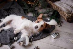 Chien Jack Russell Terrier attendant la nouvelle année Images stock