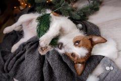 Chien Jack Russell Terrier attendant la nouvelle année Image libre de droits