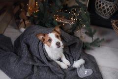 Chien Jack Russell Terrier attendant la nouvelle année Images libres de droits