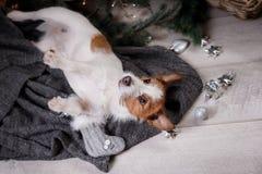 Chien Jack Russell Terrier attendant la nouvelle année Photographie stock libre de droits