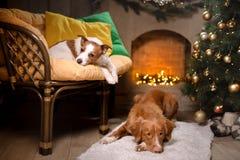 Chien Jack Russell Terrier et chien Nova Scotia Duck Tolling Retriever Saison 2017, nouvelle année de Noël Photos stock