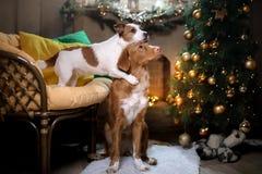 Chien Jack Russell Terrier et chien Nova Scotia Duck Tolling Retriever Saison 2017, nouvelle année de Noël Photo libre de droits
