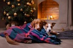 Chien Jack Russell Terrier et chien Nova Scotia Duck Tolling Retriever Saison 2017, nouvelle année de Noël Photographie stock libre de droits