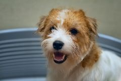 Chien Jack Russell Terrier s'asseyant dans le lit bleu de chien photo stock