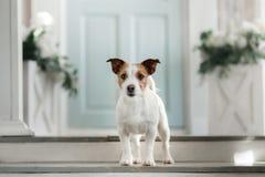 Chien Jack Russell Terrier sur le porche photo stock