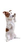 Chien Jack Russell Terrier sur un fond blanc photos libres de droits