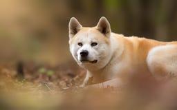 Chien japonais Akita Inu dans la forêt Photo libre de droits