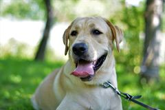 Chien jaune de labrador retriever Photos stock