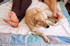 Chien jaune de labrador retriever dormant sur le lit entre les propriétaires Photos stock