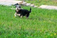 Chien jouant avec le bâton dans l'herbe photo stock