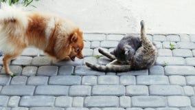 Chien jouant avec un chat Le Spitz veut mordre le chat par la queue banque de vidéos