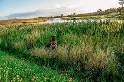 Chien jouant dans l'herbe grande de marais image stock
