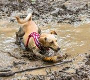 Chien jouant dans la boue Photographie stock