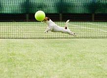 Chien jouant la grande balle de tennis Image libre de droits