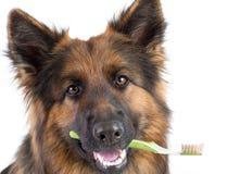 Chien jugeant la brosse à dents dans la bouche d'isolement photo stock