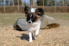 Chien junior de papillon Photographie stock libre de droits