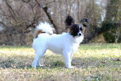 Chien junior de papillon Photos stock