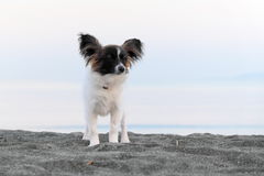 Chien junior de papillon Images stock