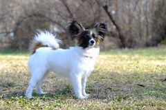 Chien junior de papillon Image libre de droits