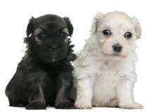 chien l小的puppie wchen的狮子 免版税库存图片