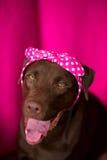 Chien Labrador de sourire avec le noeud papillon rose au fond rose Photos libres de droits