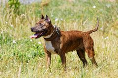Chien le Staffordshire Terrier américain sur l'herbe Photographie stock libre de droits