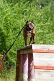 Chien le Staffordshire Terrier américain sur la formation d'agilité Photographie stock libre de droits