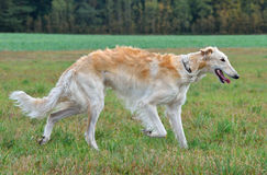 Chien-loup russe courant Photo stock