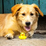 Chien mâchant le canard en caoutchouc jaune de jouet photographie stock
