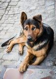 Chien méfiant triste berger allemand Photos libres de droits