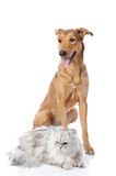 Chien mélangé de race et chat persan. Photographie stock libre de droits