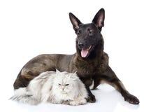 Chien mélangé de race et chat persan ensemble. Photos stock